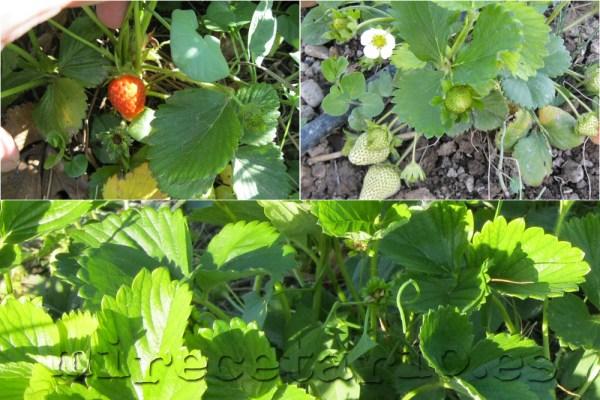 Los primeros frutos de los fresales