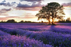 lavender-field-1