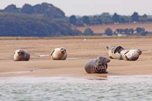 norfolk-coast-aonb-common-seals-and-grey-seals-relaxing-on-the-shore-in-blackeney-in-norfolk