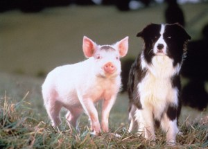 Scene from film Babe 1998 Farmer Hoggett wins a runt piglet at a local fair and young Babe, as the piglet decides to call himself, befriends Ferdinand the duck, who thinks he is a rooster and Fly, the sheepdog he calls mom. Babe realises that he has the makings to become the greatest sheep pig of all time, and with Fly's help and Farmer Hoggett's intuition, Babe embarks on a career in shepherding with some surprising and spectacular results.
