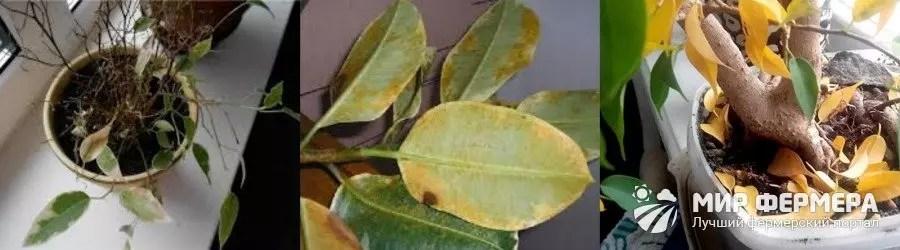Přebytek vlhkosti na Ficus