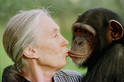 jaengodall-beso-chimpance
