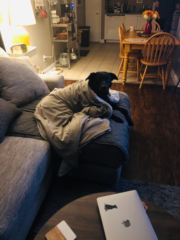 Dog under blanket on couch