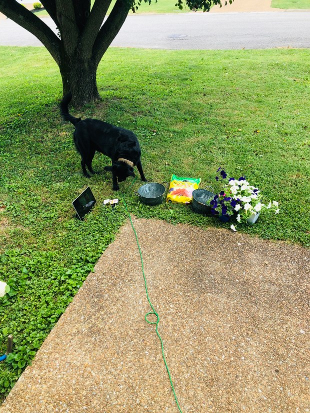 Working on flowers in front yard with dog