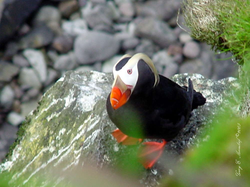 Tufted%20Puffin