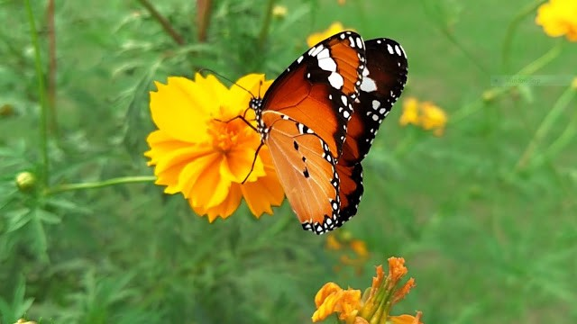 10 Beautiful Butterfly Images Hd Collection Of Colorful Butterflies By Karom Medium
