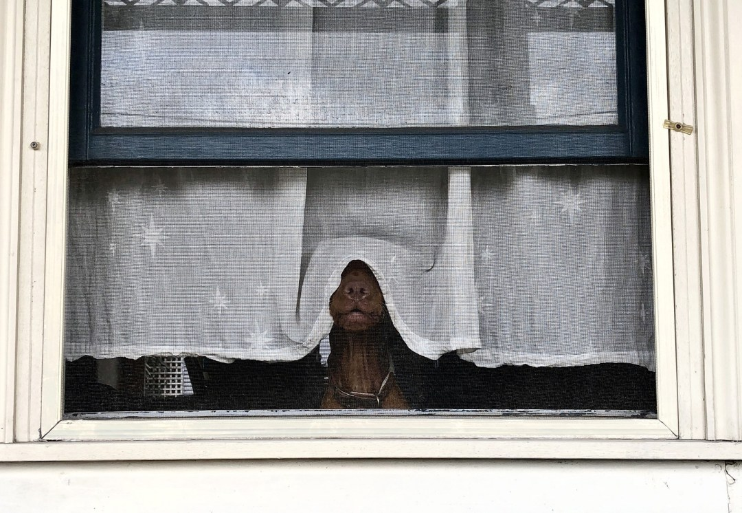 A dog looking underneath a window curtain with his nose and mouth showing but eyes veiled like a bride