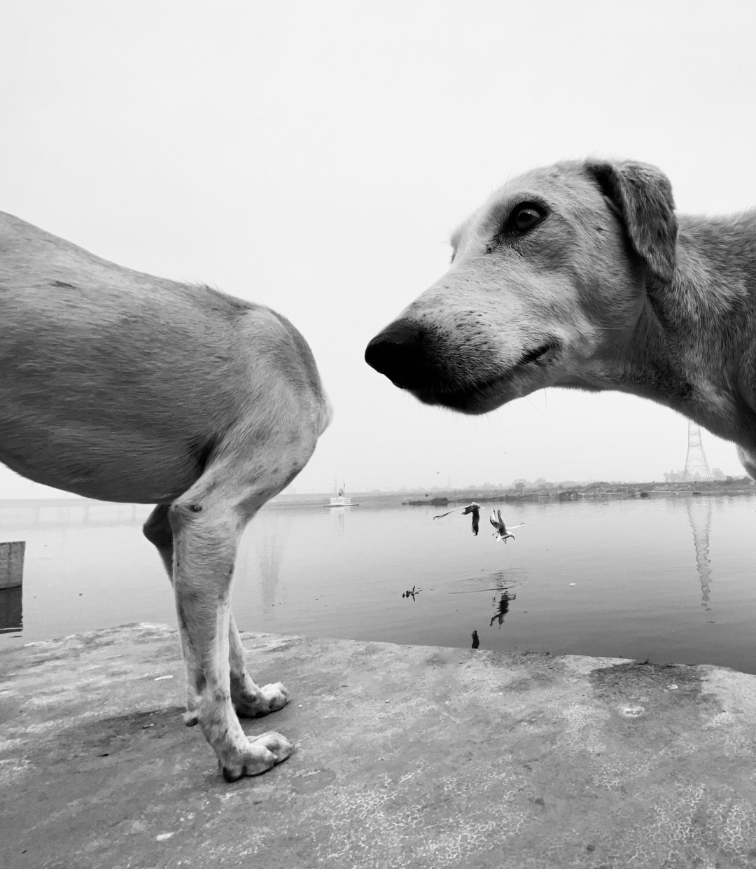 Two dogs pictured in black and white, one looking surprised while the other appears as an optical illusion to be headless