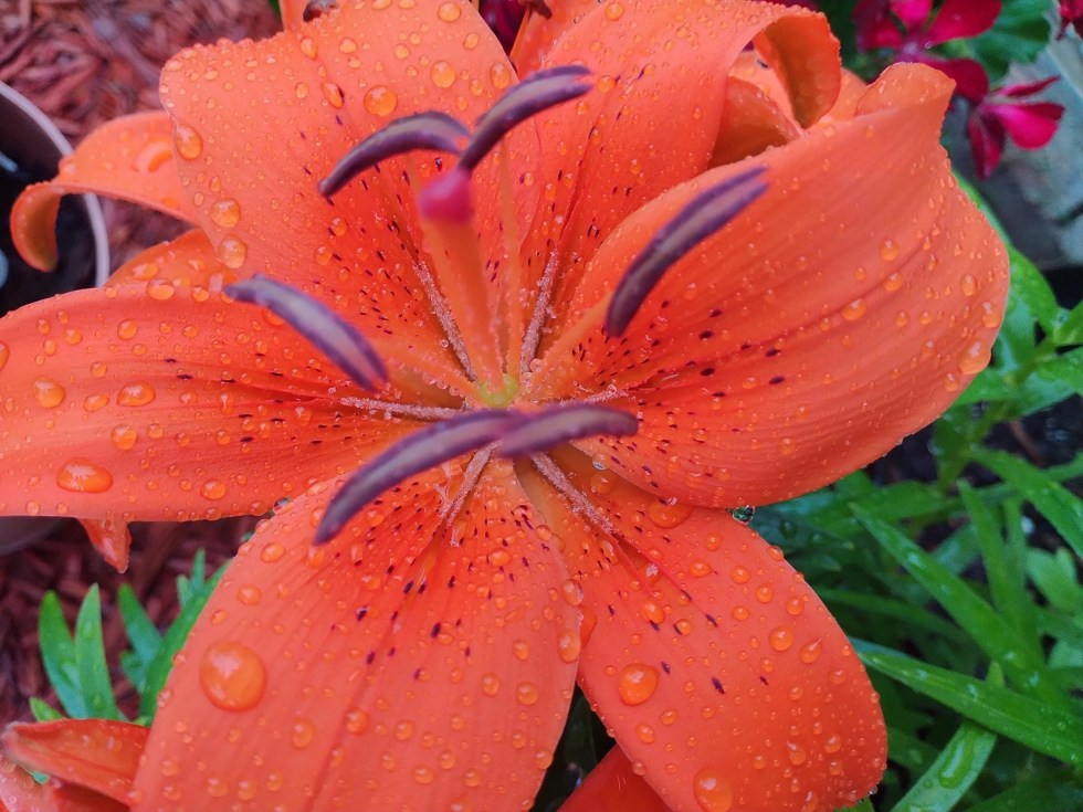 Bright orange lilies, with raindrops sprinkled on their petals.