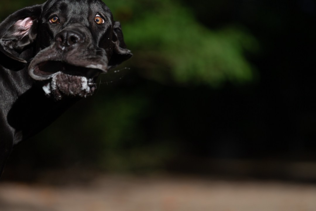 A dog caught mid-run and mid-drool appears to have had a photo snapped at the EXACT wrong moent