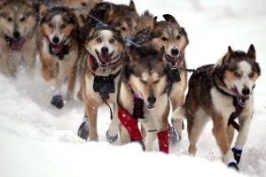 After Sports Were Canceled, Only The Iditarod Remained