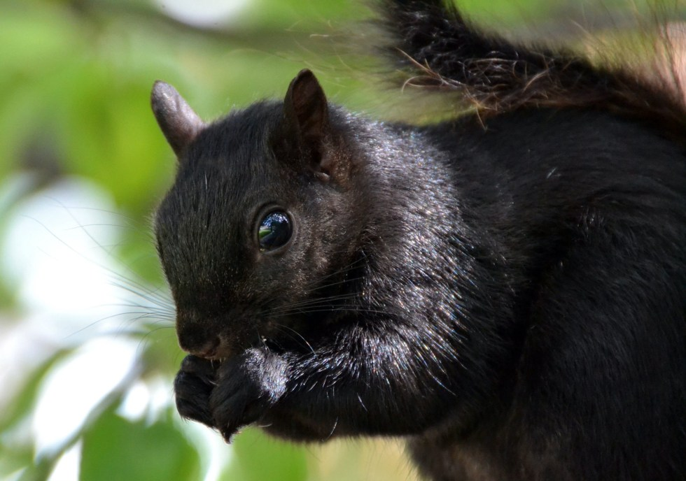 Black Squirrels can sometimes have white spots or stripes and can be multi colored