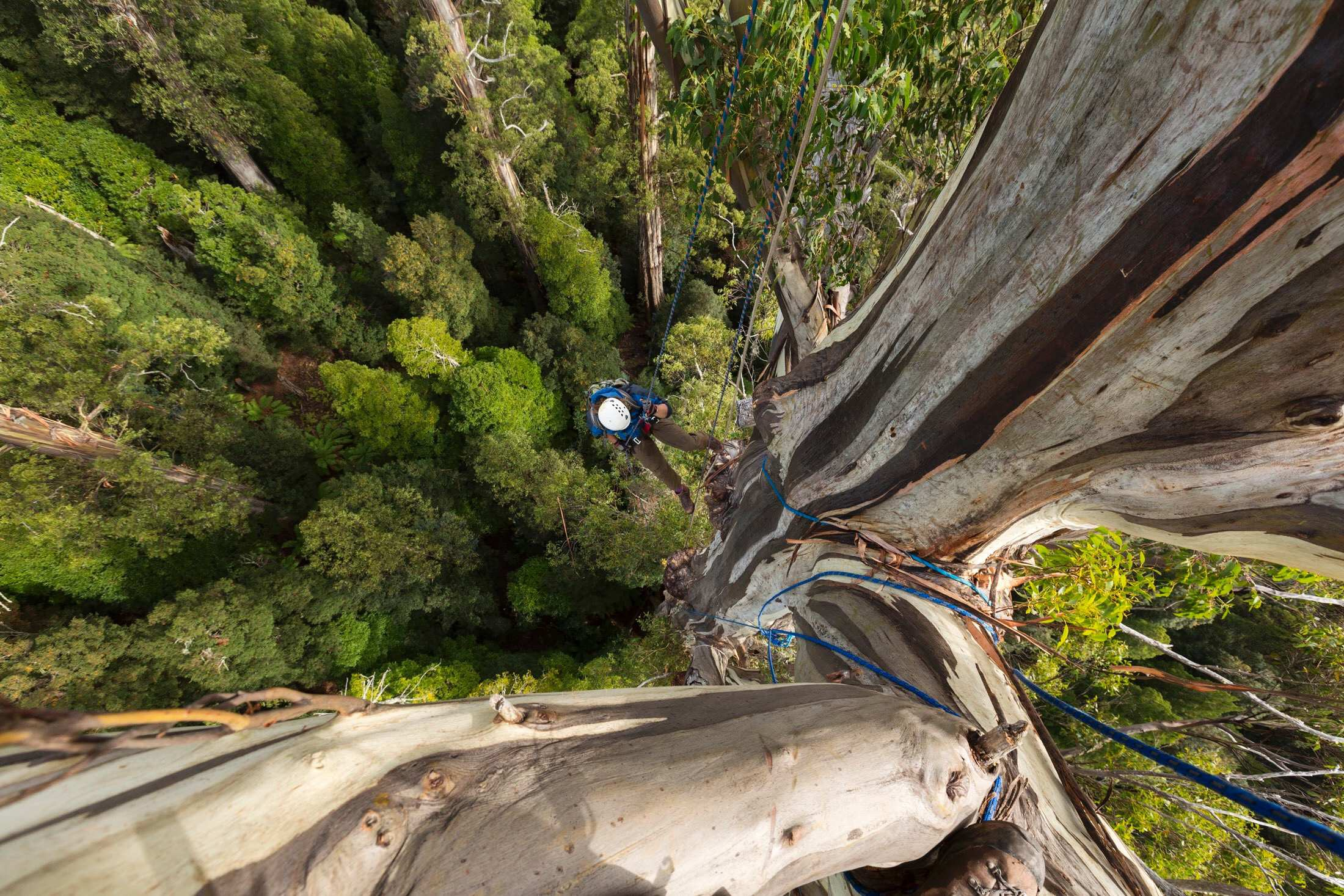 Photographing One Of The World S Tallest Trees By Abc News Abc News Australia Medium