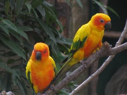 DNA Study Points To Humans As Cause of Carolina Parakeet Extinction