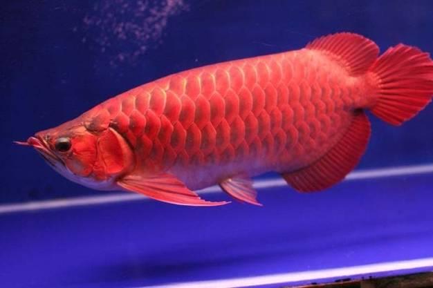 Mengenal Lebih Dekat Jenis Ikan Arwana Super Red Dan Cara Pemeliharaannya |  by petani udang | Medium