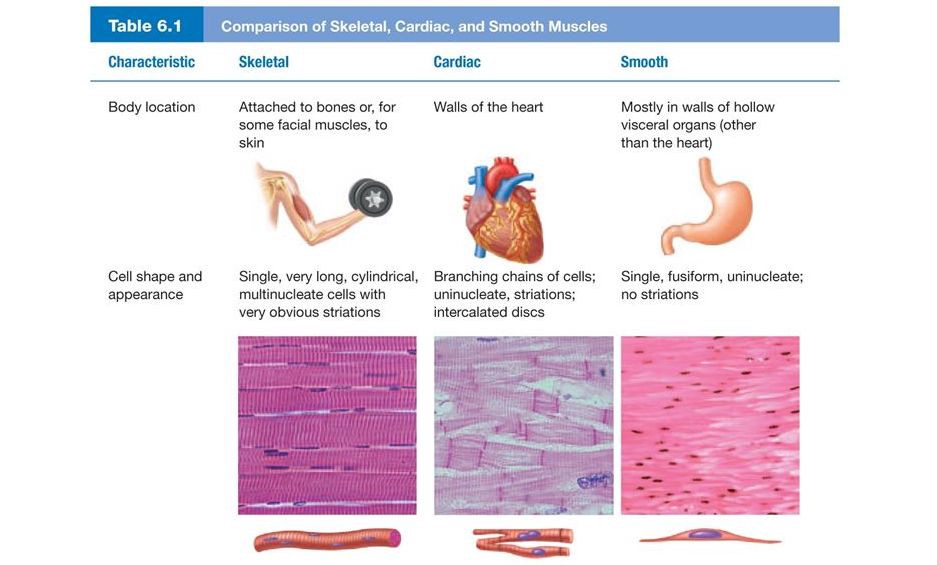 Table Comparing Different Types of Muscles and Their Functions
