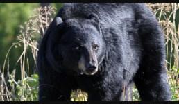 Uttarakhand भालू ने महिला पर किया जानलेवा हमला,  भतीजी ने दरांती से किये भालू पर वार, फिर क्या हुआ, पूरी खबर पढ़ें