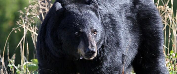 उत्तराखंड में इंसान के लिए गुलदार से भी खतरनाक हो रहा है भालू, कारण पढ़िए