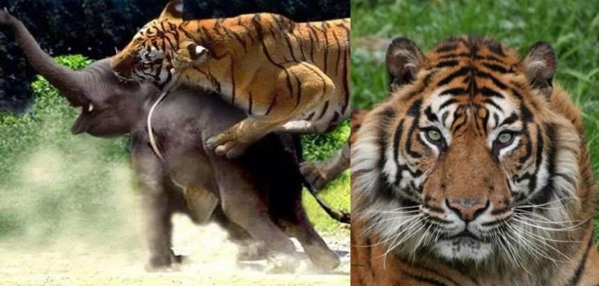 उत्तराखंड : कार्बेट पार्क में बाघ कर रहे हाथियों का शिकार, वन्यजीव विशेषज्ञ हैरान और चिंतित