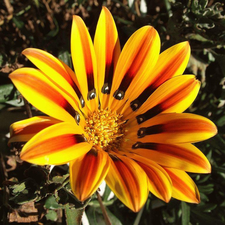 гацания цветок