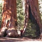 Acceptance-Sequoia_trees