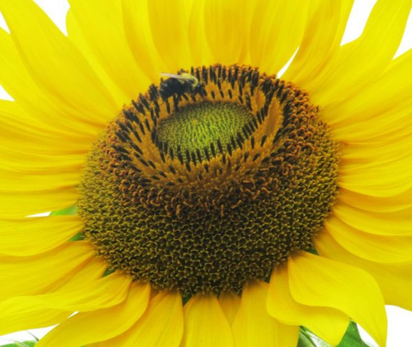 Weekly Photo Challenge: Yellow - Sunflower welcomes a bee