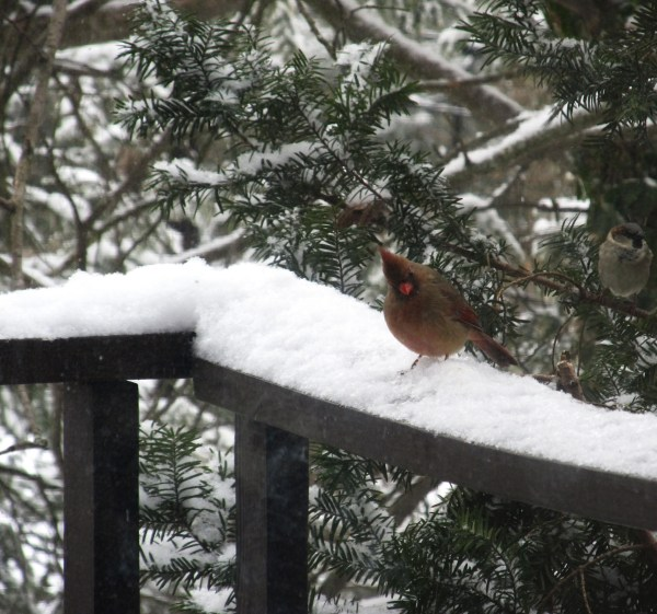 Weekly Photo Challenge: Rule of Thirds - A Cardinal in the snow