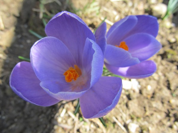 Haiku: Clearing Space For Grace - Crocus; Early spring blooms