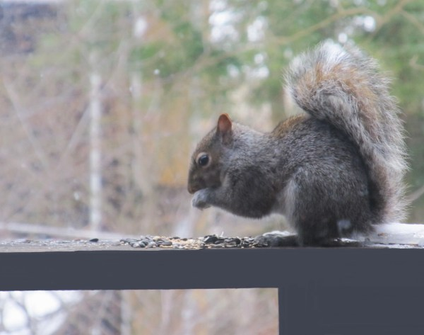 Weekly Photo Challenge: Rule of Thirds - A Squirrel feeding on birdseed