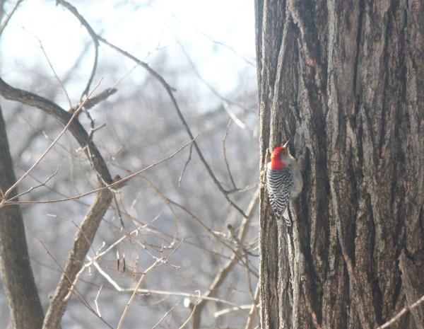Weekly Photo Challenge: Rule of Thirds - A Woodpecker on an Oak tree