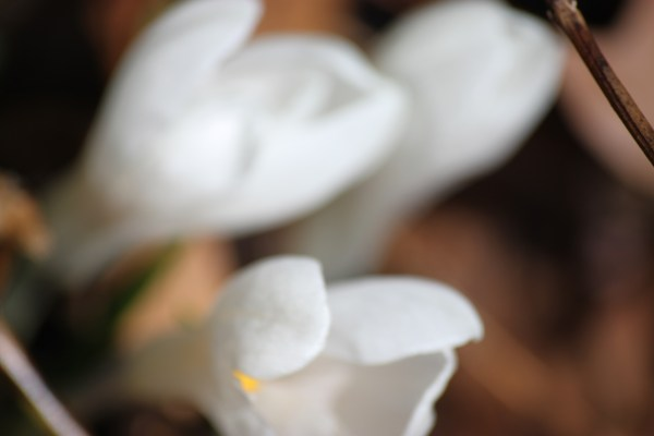 Weekly Photo Challenge: BLUR - White Crocus Shot