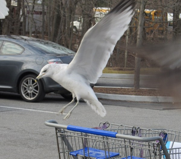 Weekly Photo Challenge: WEIGHT(LESS) - Seagull about to perch on a shopping cart.