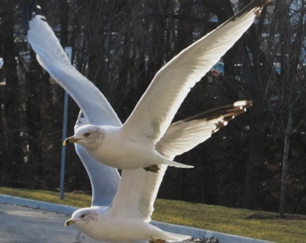 Weekly Photo Challenge: WEIGHT(LESS) - Seagulls in flight
