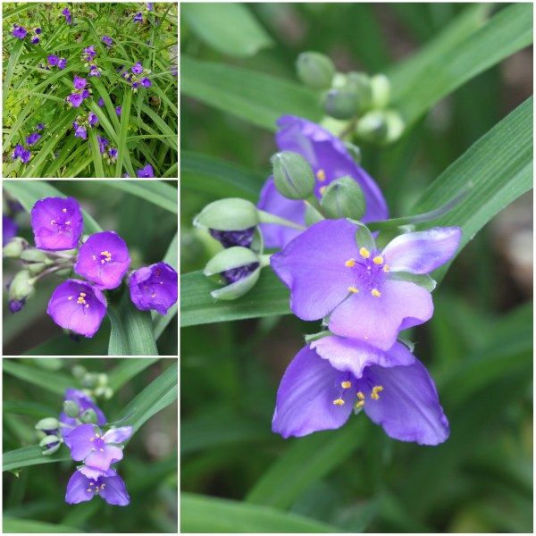Photo Challenge: EVANESCENT - The Shortlived Widow's Tears Flowers