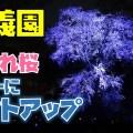 はとバス夜桜ツアー4|六義園のしだれ桜ライトアップ見学