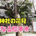 靖国神社の満開の桜を花見散歩!標本木の桜の場所はまさに聖域