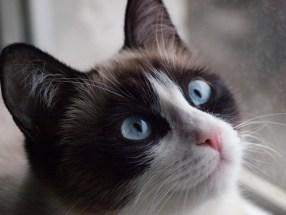 Resultado de imagen de gato siames