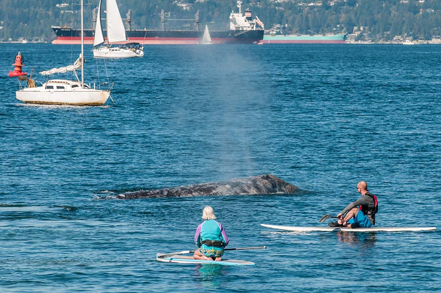 October 4th, 2015 -- Grey whale off Vanier Park amongst boats
