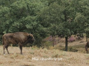 Bisonte europeo Salgüero Juarros