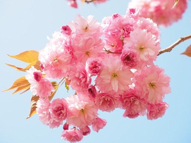 flor cerezo Japón