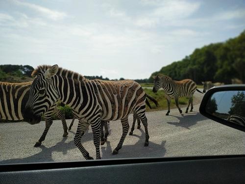 Cebras al lado del coche en Sigean