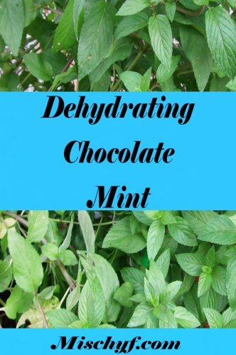 Dehydrating chocolate mint leaves. There great in tea and desserts.