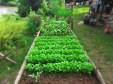 Growing veggies.