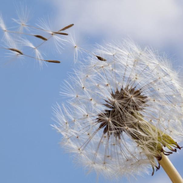 Pétalas ao vento