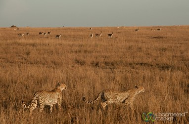 Cheetah Brothers Hunt Together - Serengeti, Tanzania