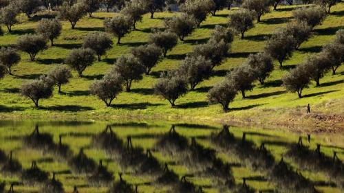Olive_trees_reflected_waters_Barragem_Alqueva_Portugal_20120908