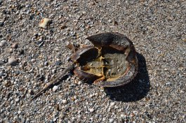 Horseshoe crabs do not stand a chance these days...