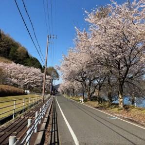 琵琶湖桜並木