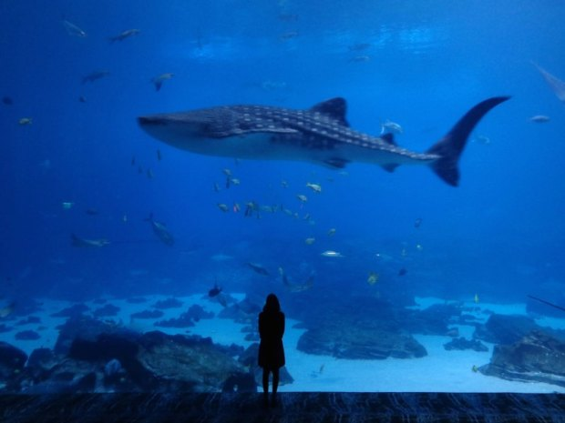 whale shark in the Georgia Aquarium