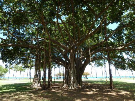 Hawaii_BanyanTree1 (1024x768)